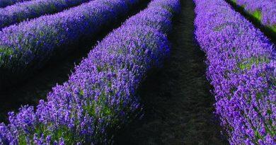 Χαλκιδική: Παρέμβαση Επιμελητηρίου για έκτακτη στήριξη καλλιεργητών λεβάντας